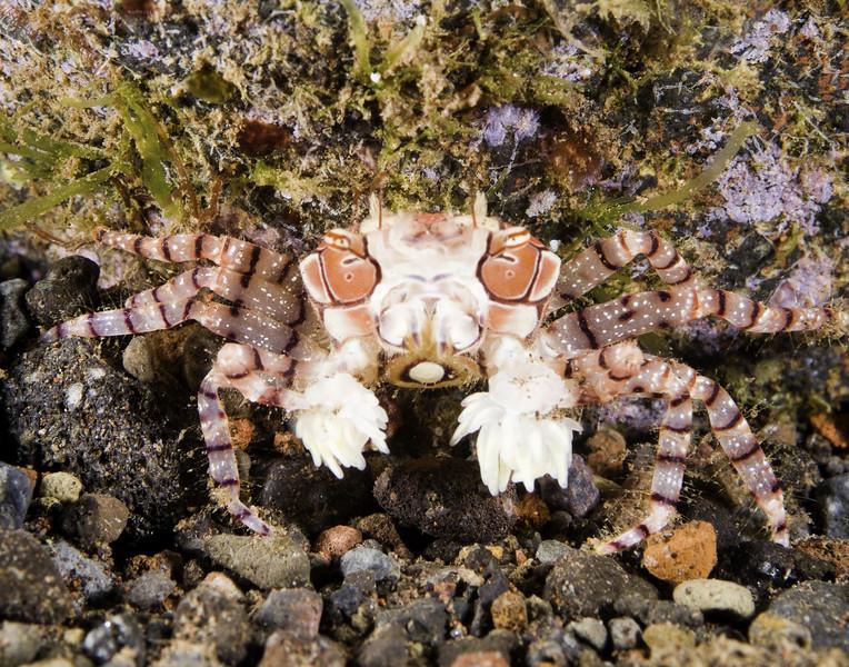 crab boxer.jpg