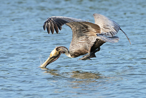 Brown Pelicans - TigerTail Lagoon
