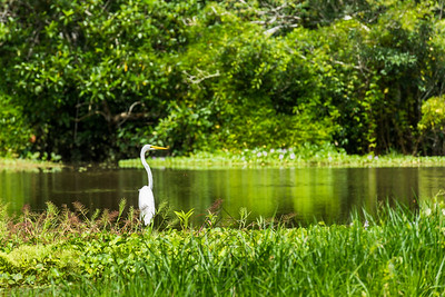 Large white stork standing on the Amazon river bank