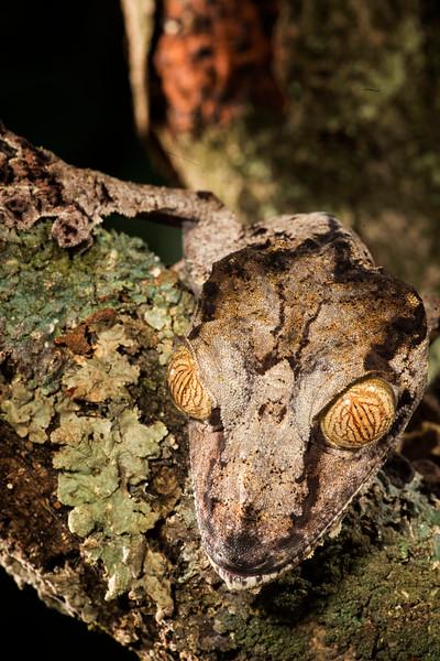 Giant Leaf Tailed Gecko,  Uroplatus fimbriatus