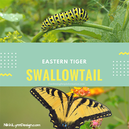All About the Eastern Swallowtail Butterfly