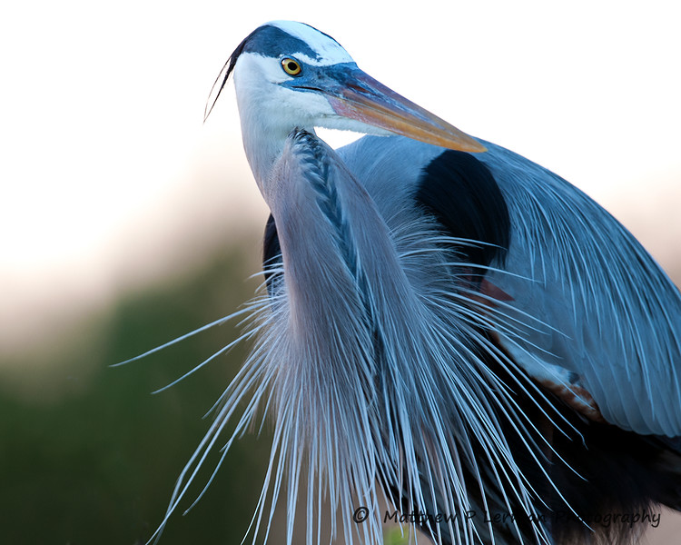 Great Blue Heron_6102.jpg
