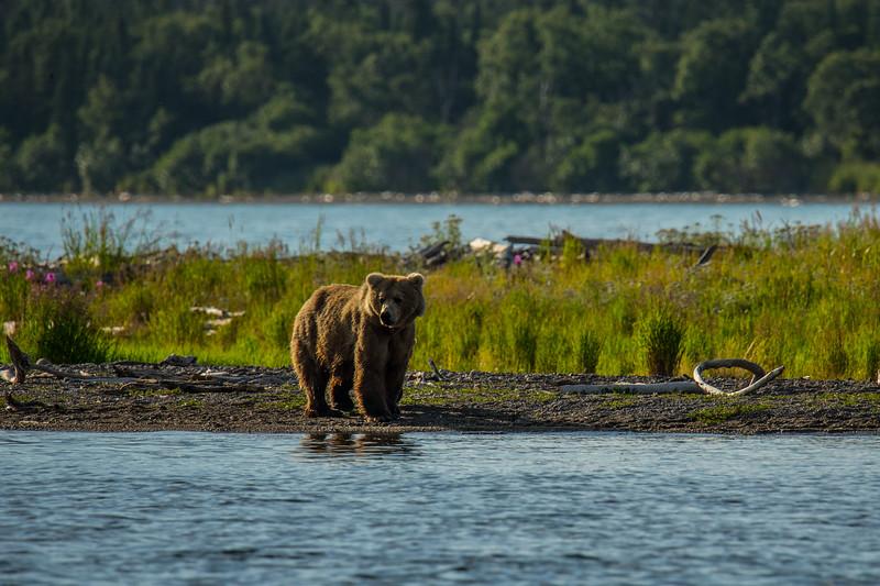 Katmai Bears-20.jpg