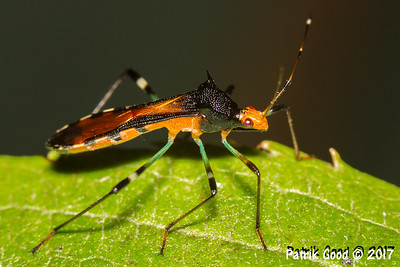Colourful Board-headed Bug