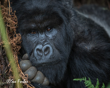 Contemplative Mountain Gorilla