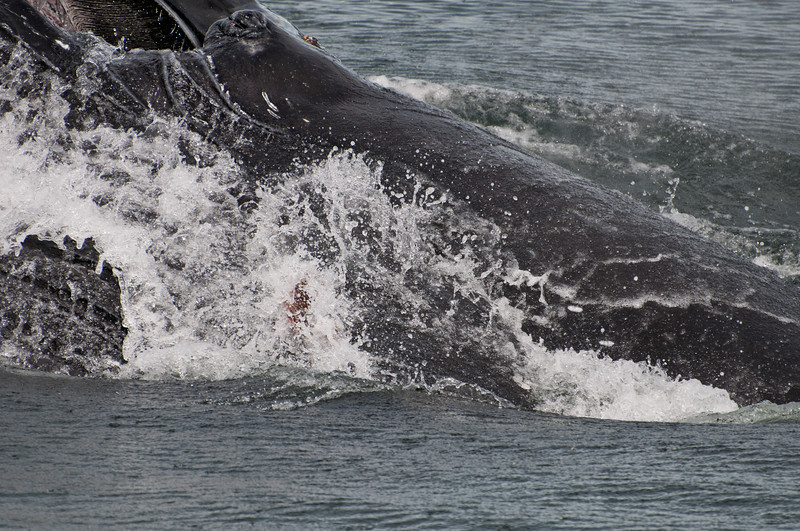A whale comes close to the boat for a look at us... note the baleen and the whale's eye at the top of the photo.