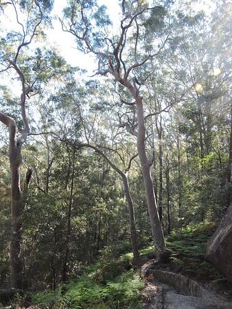 Blue Gum Walk, Hornsby, NSW - Australia