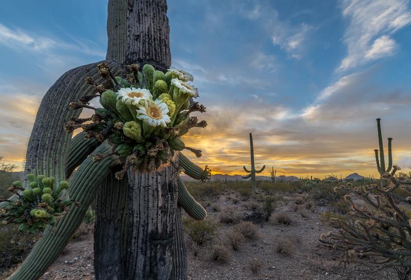 I-11 - Flowering Old Saguaro at Dawn #6