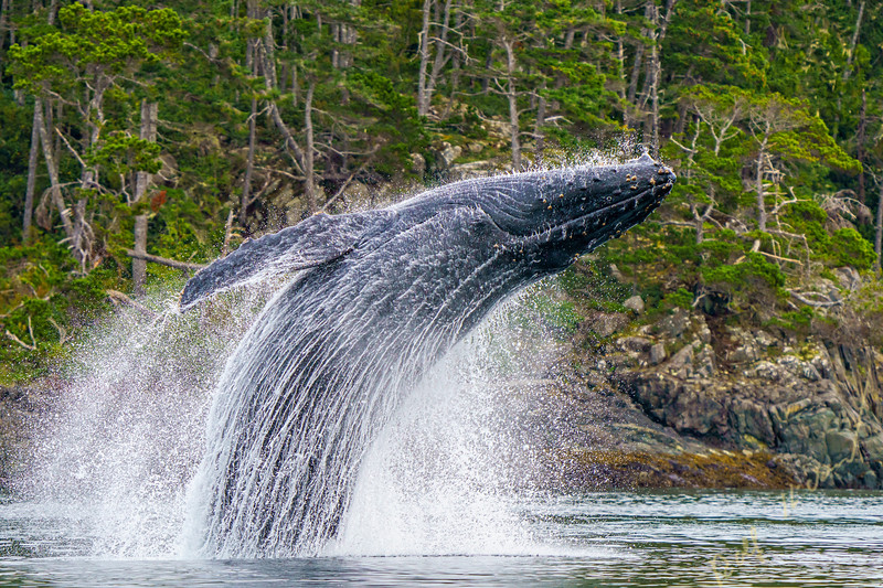 Humpback whale breaching in front of the beautiful scenery of the British Columbia Coastal Mountains near the Broughton Archipelago, First Nations Territory, British Columbia, Canada
