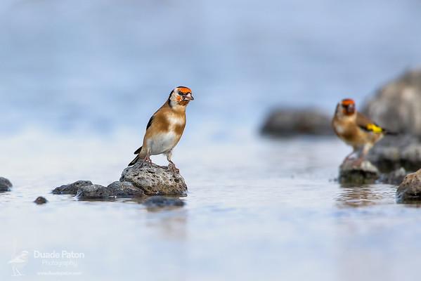 European Goldfinch INT