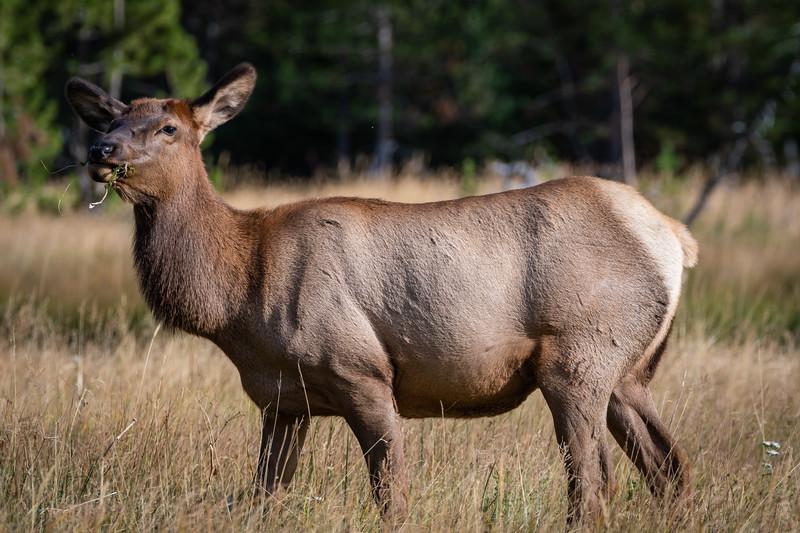 Elk momma 091918.jpg