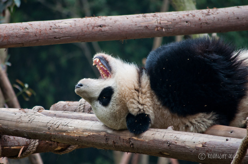 Cup_Panda_sleeping_Chengdu_Sichuan_China.jpg
