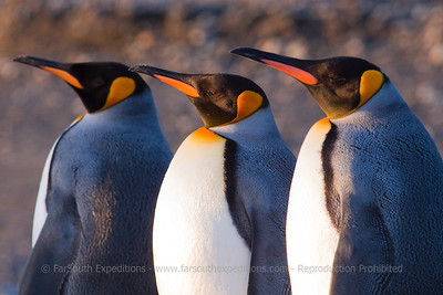 King Penguins of Tierra del Fuego