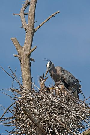 Heron Rookery - Concord