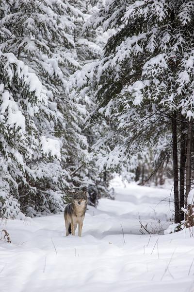Timber Wolf CR52-Arkola Road just west of Cotton Sax-Zim Bog MN  IMGC5992.jpg
