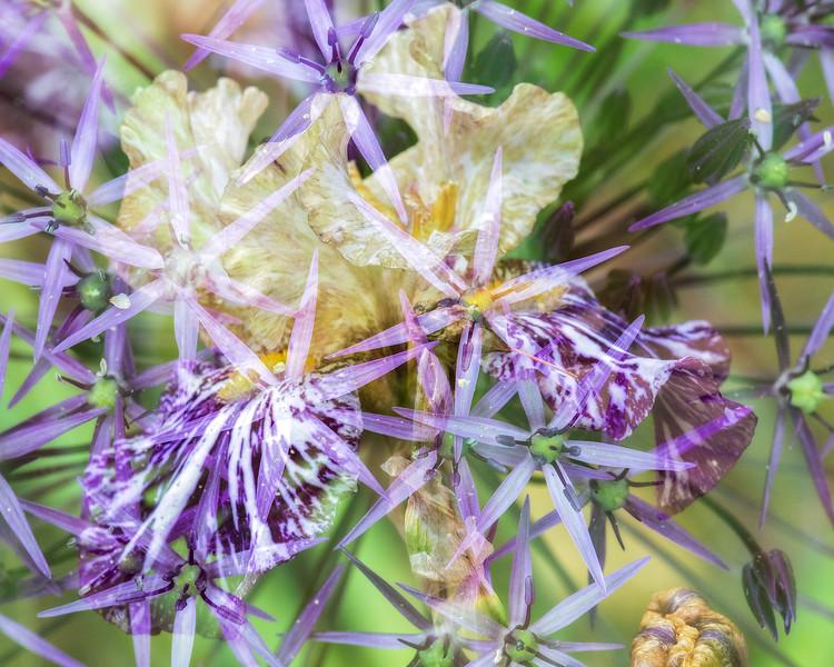 Iris and allium double exposure