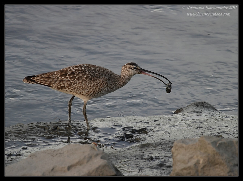 Whimbrel with feed, Robb Field, San Diego River, San Diego County, California, January 2011