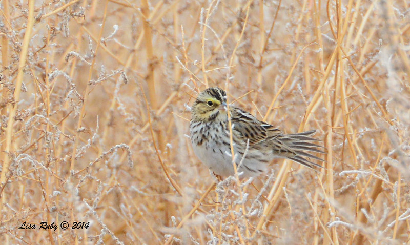 Savannah Sparrow - 11/30/2014 - San Jacinto Wildlife Area (Davis Road)