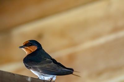Welcome Swallow [Hirundo neoxena]