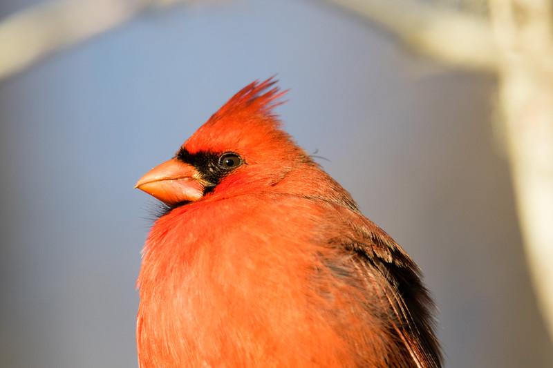 Northern Cardinal So. FL 2020-2.jpg
