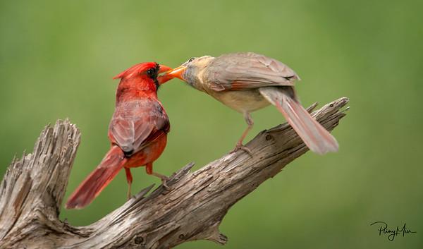 Cardinal Love 2.jpg
