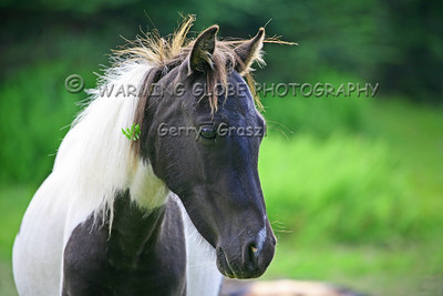 Grayson Highlands and its Ponies