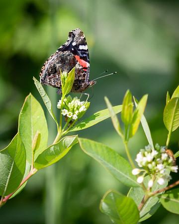 Butterflies in America