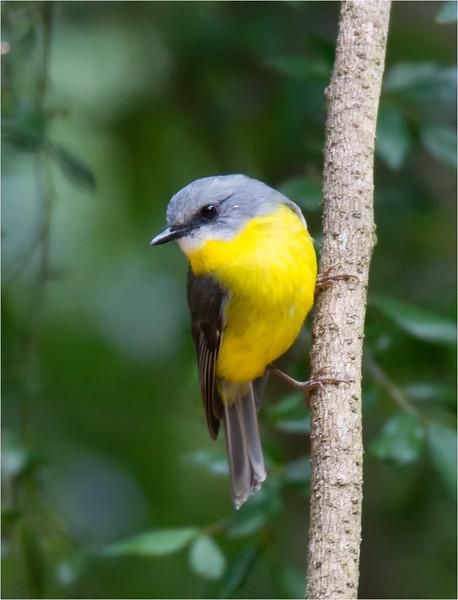 Eastern Yellow Robin 002