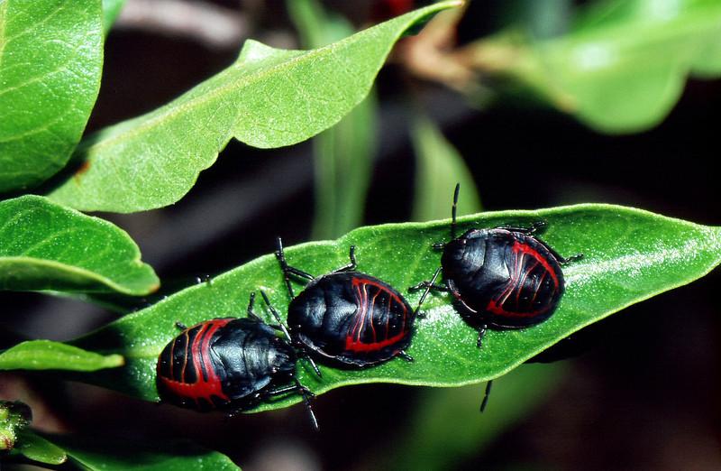 Coleotichus blackburniae (Heteroptera: Pentatomidae) on Dodonaea viscosa, West Maui