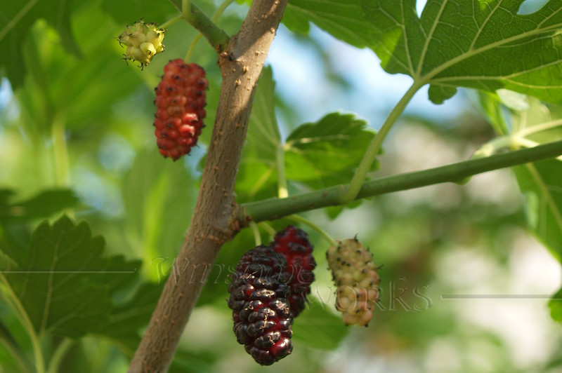 Mulberry tree in the Maze Garden, 3rd St., Bethlehem PA