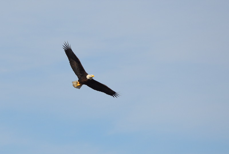 DSC_1725_bald_eagle_in_flight_lg.jpg