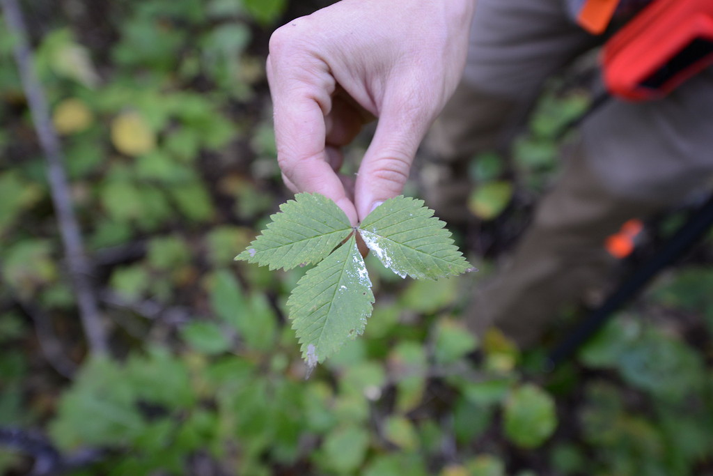 . Meadow Kouffeld-Hansen, regional biologist with the Ruffed Grouse Society, holds a leaf stained with wooodcock urine in Itasca County in northern Minnesota Saturday, Sept. 19, 2015, opening day for grouse and woodcock hunting in Minnesota.(Pioneer Press: Dave Orrick)