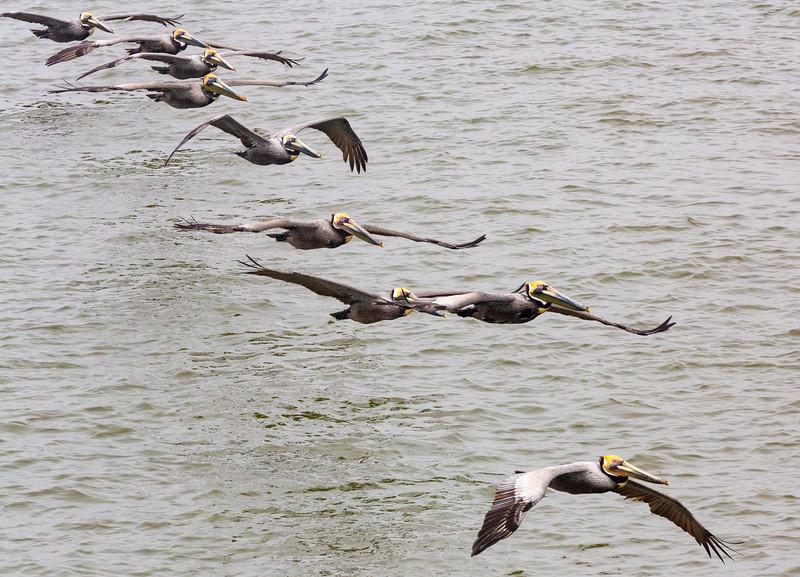 Pelican peleton passes prettily