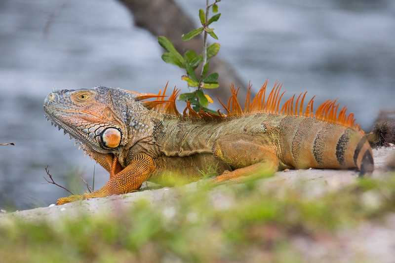 Green Iguana Lake Worth FL 2020-2.jpg