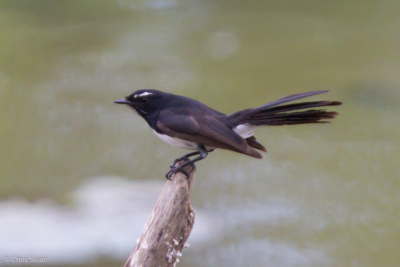 Willie-Wagtail at Pacific Adventist University, Port Moresby, Papua New Guinea (09-29-2013) 009-523.jpg