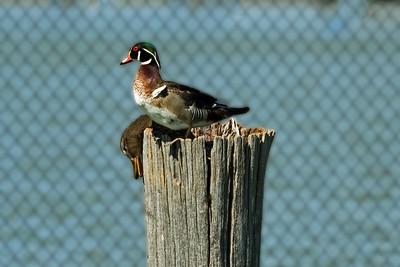 Wood Duck at Marina
