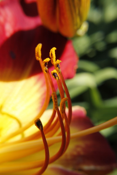 Woodcrest Daylilies LLC Gallery