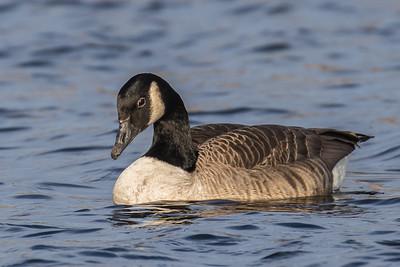 Canada Goose ~ Canadagås