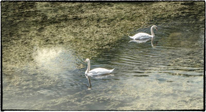 Swans in Gananoque