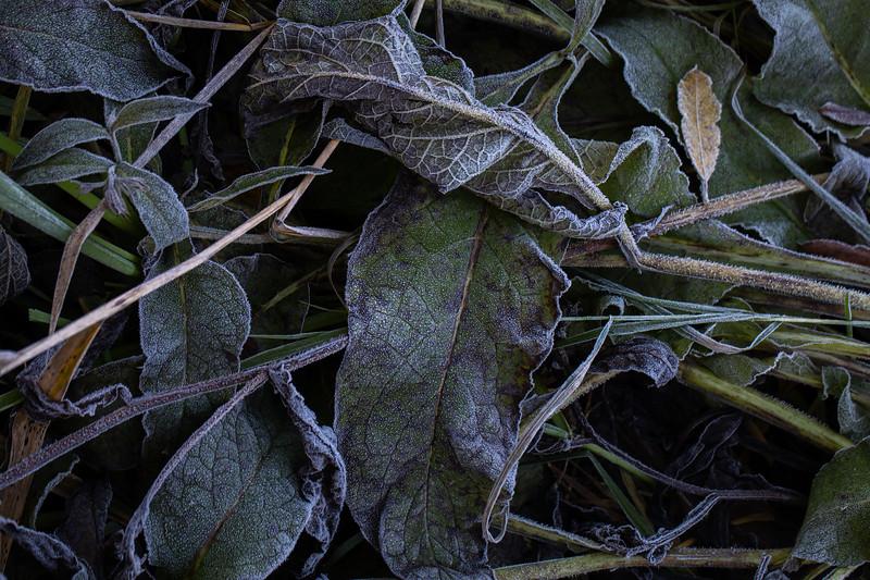 Frosne blader / Frozen leaves Linnesstranda, Lier 18.10.2020 Canon 5D Mark IV + EF 100mm f/2.8L Macro IS USM