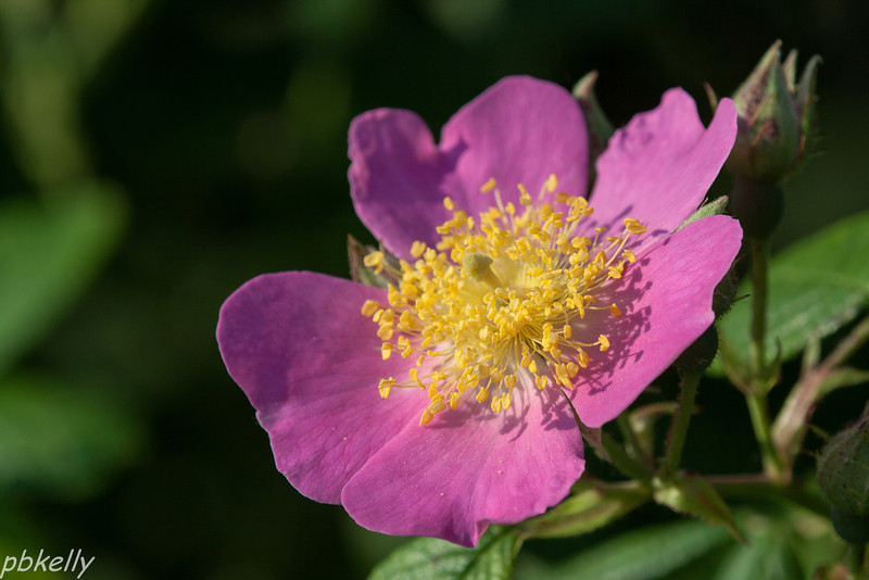 June 23.  Pasture or Carolina Rose, appropriately blooming in my pasture.