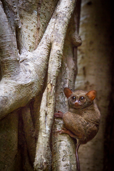 spectral tarsier (Tarsius tarsier), Tangkoko, Sulawesi. Returning to sleep in a fig tree after a night hunting,