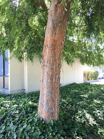 C1058-tree-in-San-Jose-TBD