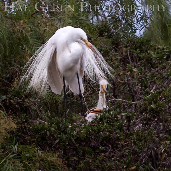 Great Egret with Fledglings Newark, California 1304N-GE10N