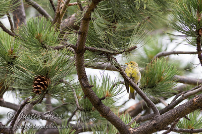 Western Tanager 08-02-2017