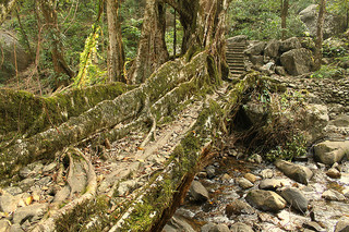Living Root Bridge of Cherrapunjee