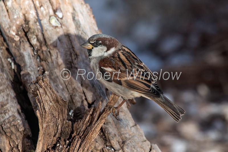 House Sparrow,