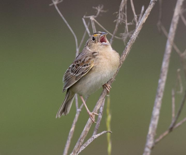 Grasshopper Sparrow Penesquitos Canyon 2019 04 06-4.CR2