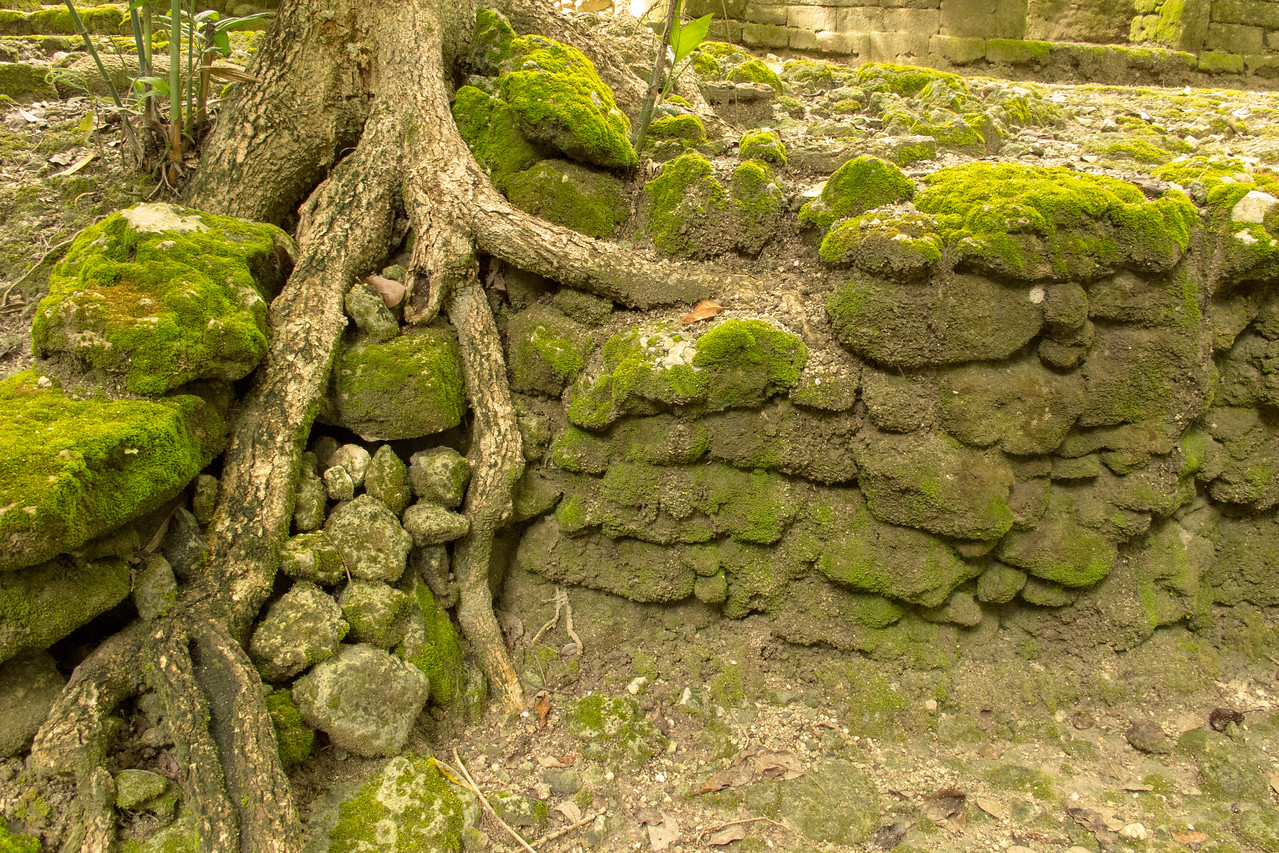Tree Roots Growing into the Ruins the Kohunlich Mayan Ruins