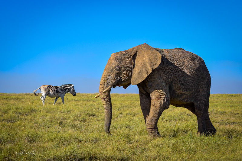 Zebra and Elephant passing by.jpg